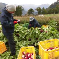 五箇山赤かぶ収穫が始まりました
