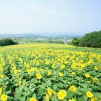 名寄を見下ろす黄色い花畑