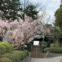 今年もきれいに咲き誇る桜の花