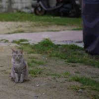 街猫春雷(シュンライノコロノマチネコ)③ Okinawan Cats #2235