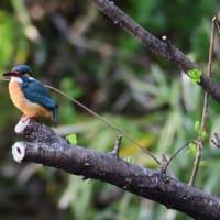 野鳥の森の翡翠♀