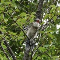 鳴いて甘える、オナガの幼鳥。