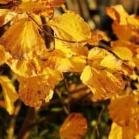 池畔の黄葉 マルバマンサク