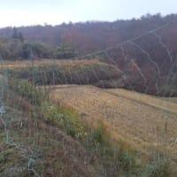 来年菊を植える為に張ったマルチの上を鹿が歩くのでネットを張った