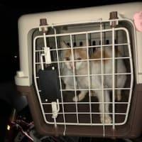 飼主の居ない猫の避妊、去勢手術3匹済み…栗橋