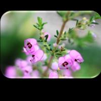 9 / 19 めぐり~エリカの花