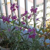 3/26 ウキツリボクに1つ花がつく他