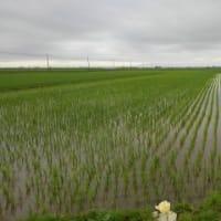 梅雨どきの田んぼ
