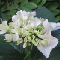 紫陽花「白八重」