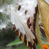 トウワタ(唐綿)‐ キョウチクトウ科