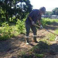 早朝小豆と枝豆の除草と間引き、午後は雨