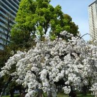 「桜」/都立青山公園
