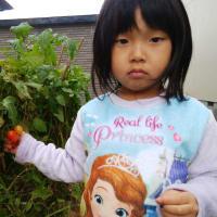 イクメンとは・・・・・【トマト収穫】