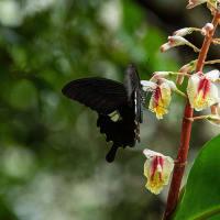 2020.6.28 クマタケランの花(世界遺産 花の窟)