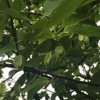 アメリカアサガラ、エゴノキ科(ツツジ目)