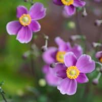 ●我が家の9月の花(7) アメジストセージ(サルビアレウカンサ) 秋明菊 タマスダレ