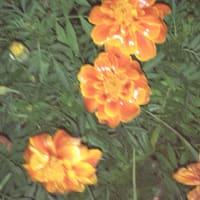 ウォーキング:雨に濡れた花