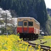 満開の桜と菜の花・小湊鉄道 月崎駅(千葉県)