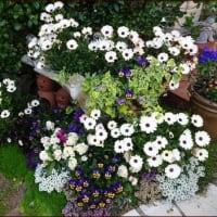 お気に入りの花壇と寄せ植え★感染を広げるもの