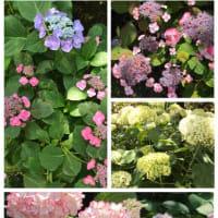 花菖蒲と紫陽花、、梅宮大社へ
