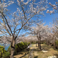 予定変更の恵那峡は桜が最高にきれい!