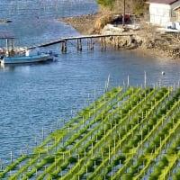 冬の真珠筏と海苔養殖
