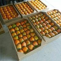 柿の収穫開始(森田)