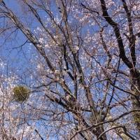 安曇野の宿から・桜はらはら