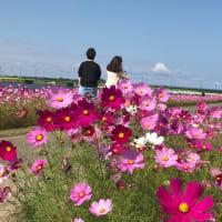 遠賀川のコスモス