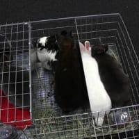NRC 8th RabbitShow