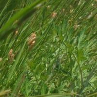 ✾ 麦秋の 野に金麦の 小判下げ