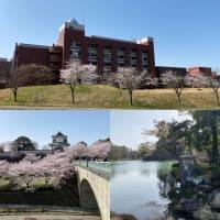 桜満開の兼六園(眞野)