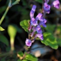 紫色のタツナミソウ