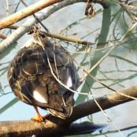 長池公園に珍鳥:絶滅危惧種のトモエガモを探しに行きました