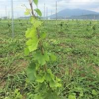 ブドウ枝の誘引と剪定作業。