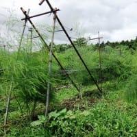 5-1 アスパラやネギ畑