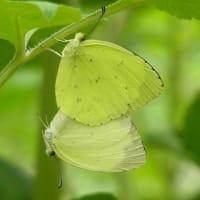 ある夏の思い出 ~キチョウの交尾