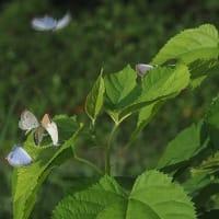 蝶・ヤマトシジミ・ベニシジミ・ウラナミシジミ・モンシロチョウ