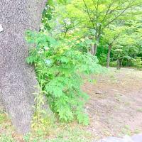 夏至の北海道神宮 その3 開拓神社と御神木などなど〜〜