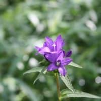 「おはようの花」 季節の山野草   ヤツシロソウ(八代草) 8月