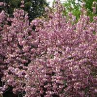 「八重桜」/池上本門寺