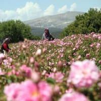 バラの産地ウスパルタで、バラの収穫体験も