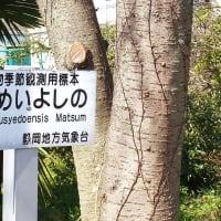 何が出るやら玉手箱         漸く駿河の国の桜 開花宣言に  (1)