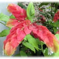 秋を思わせる花(^^♪その形が小海老の尻尾に似ていることにより名前がついた「コエビソウ(小海老草)」