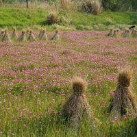 れんげ草の咲く田んぼの風景