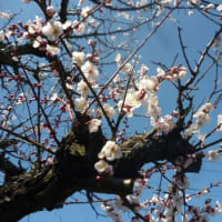 今日も暖かい東京…あんずの花も咲いてきた o(*^▽^*)o~♪