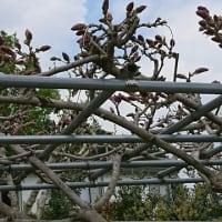 藤の開花状況(1)