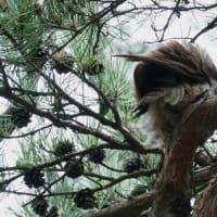 ●兼六園のアオバズク(6) カラスが威嚇!(◎_◎;)