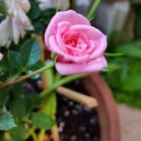 咲き切らないピンクミニバラ