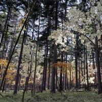 コシアブラ white leaves
